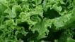 Рецепти с: Зелена салата